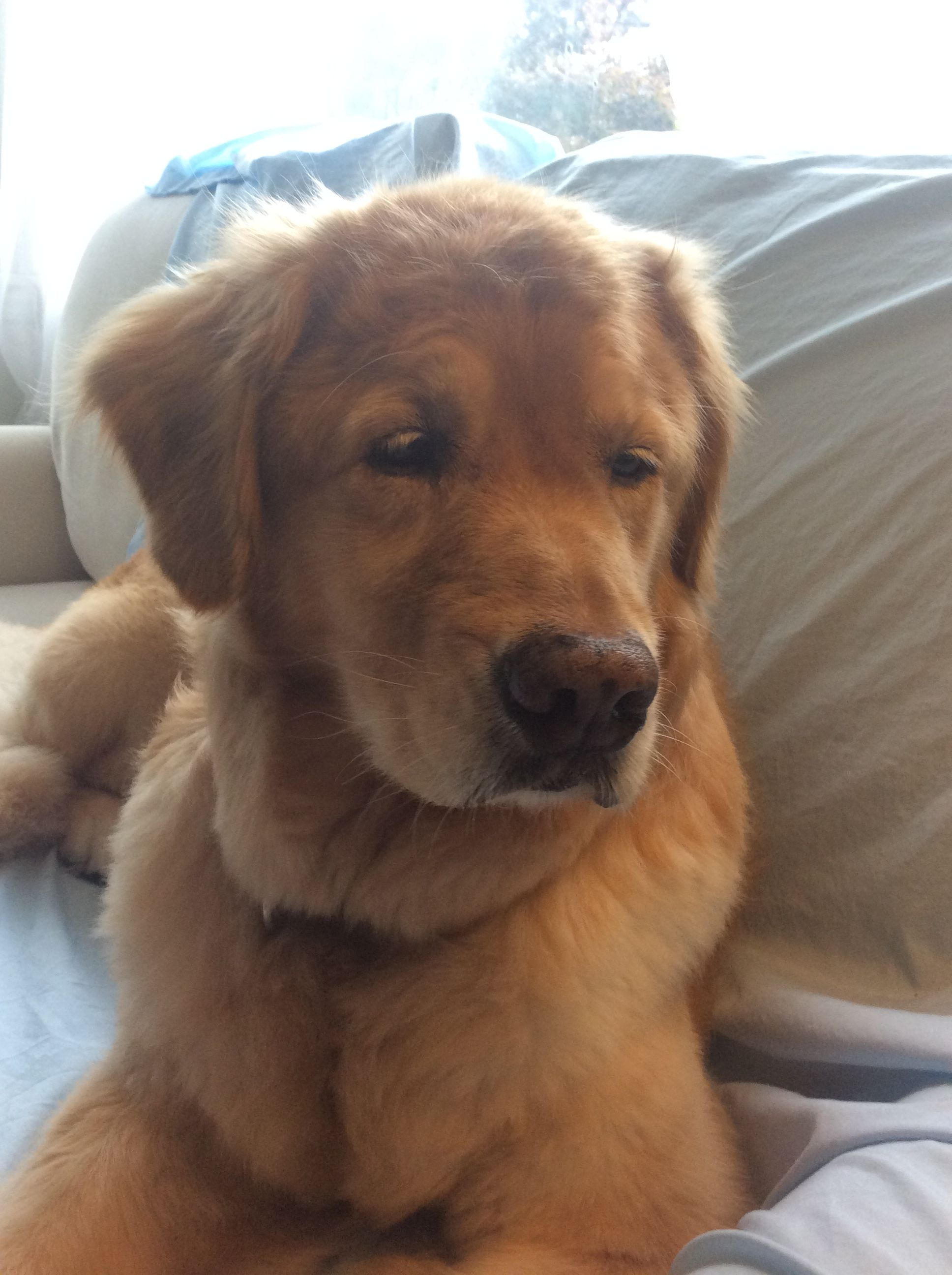 Pin By Ayk 20 On Lady Golden Retriever Puppies Animals Dogs