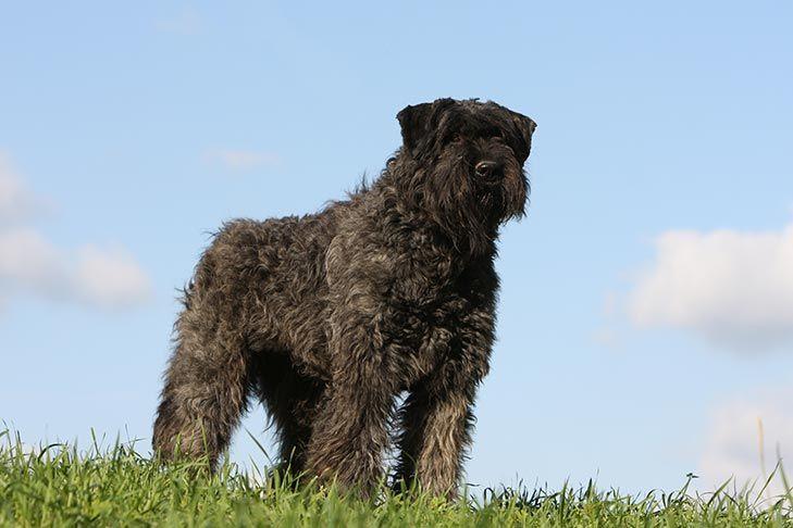Bouvier des flandres dog breed information dog breeds