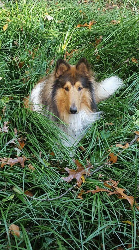 Beautiful Sable And White Rough Collie Dogs Beautiful Dogs