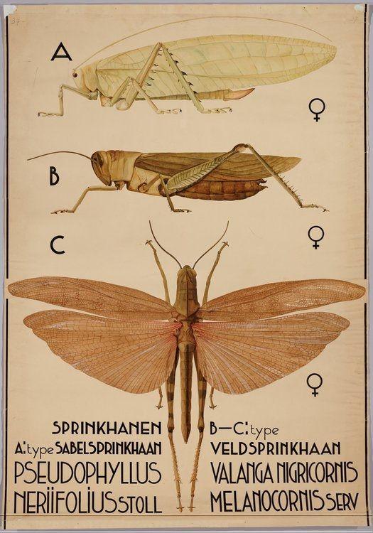 Pseudophyllus neriifolius^ (bush cricket) Valanga nigricornis (yellow or shorthorned grasshopper^) BibliOdyssey: 2012-04-01