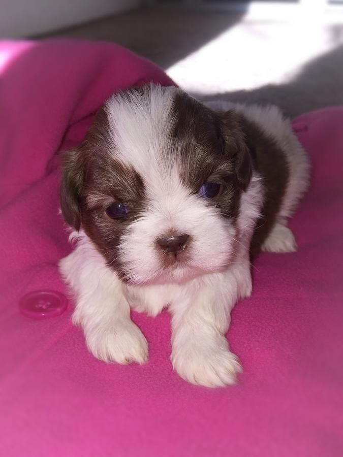 Beautiful Shih Tzu Puppies!! -- 2 liver and white Females 3 weeks old!! Now Taking Deposits!!...