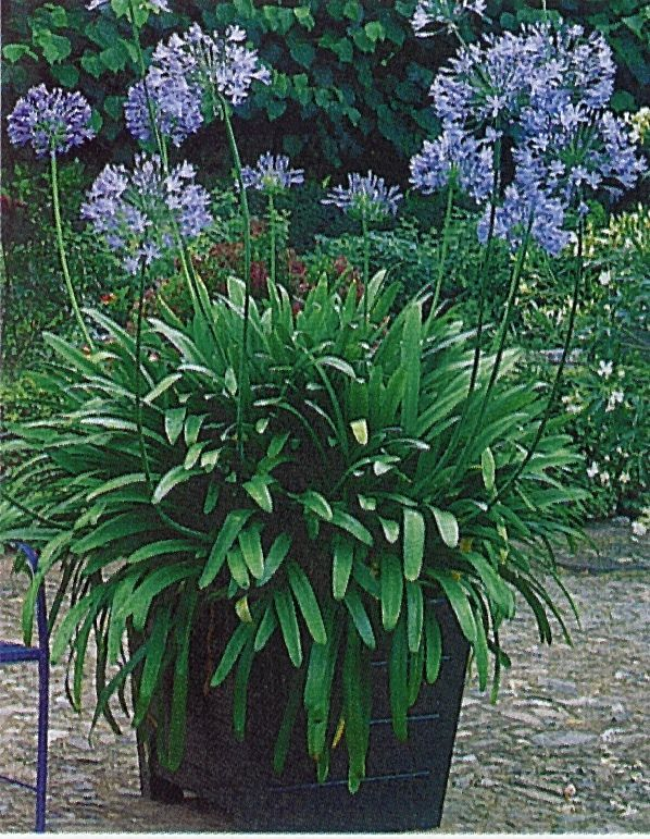 Large Pots Of Agapanthus Africanus Make A Wonderful Focal Point On The Patio And This Species Hold Onto Their Leaves All Plants Garden Containers Agapanthus