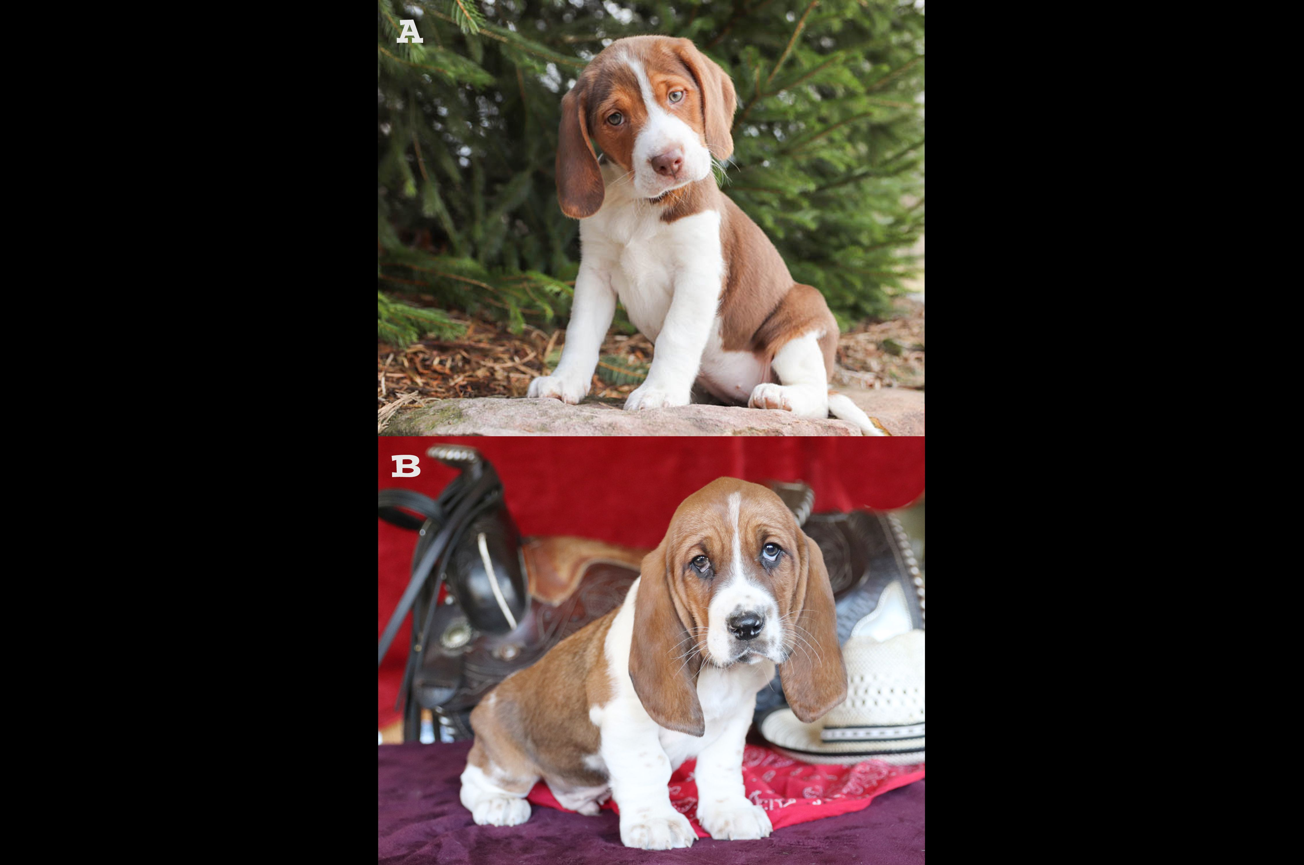Penny Beagle Puppy For Sale In Richfield Pa With Images