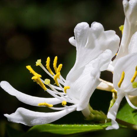 Tips : Les fleurs blanches   Arbuste fleur blanche, Fleurs blanches, Fleurs