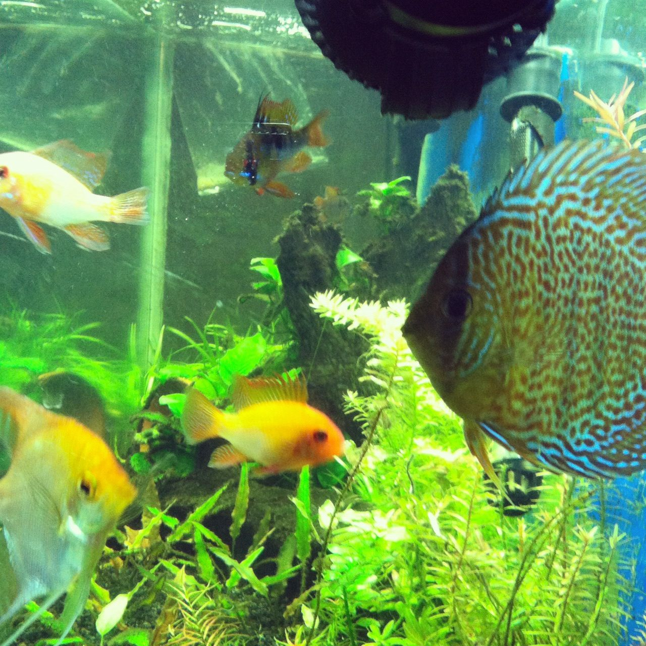 Fish Discus And German Blue Rams With A Angle Fish Andi S Fish Tank Yay Discus Aquarium Tropical Fish Freshwater Aquarium