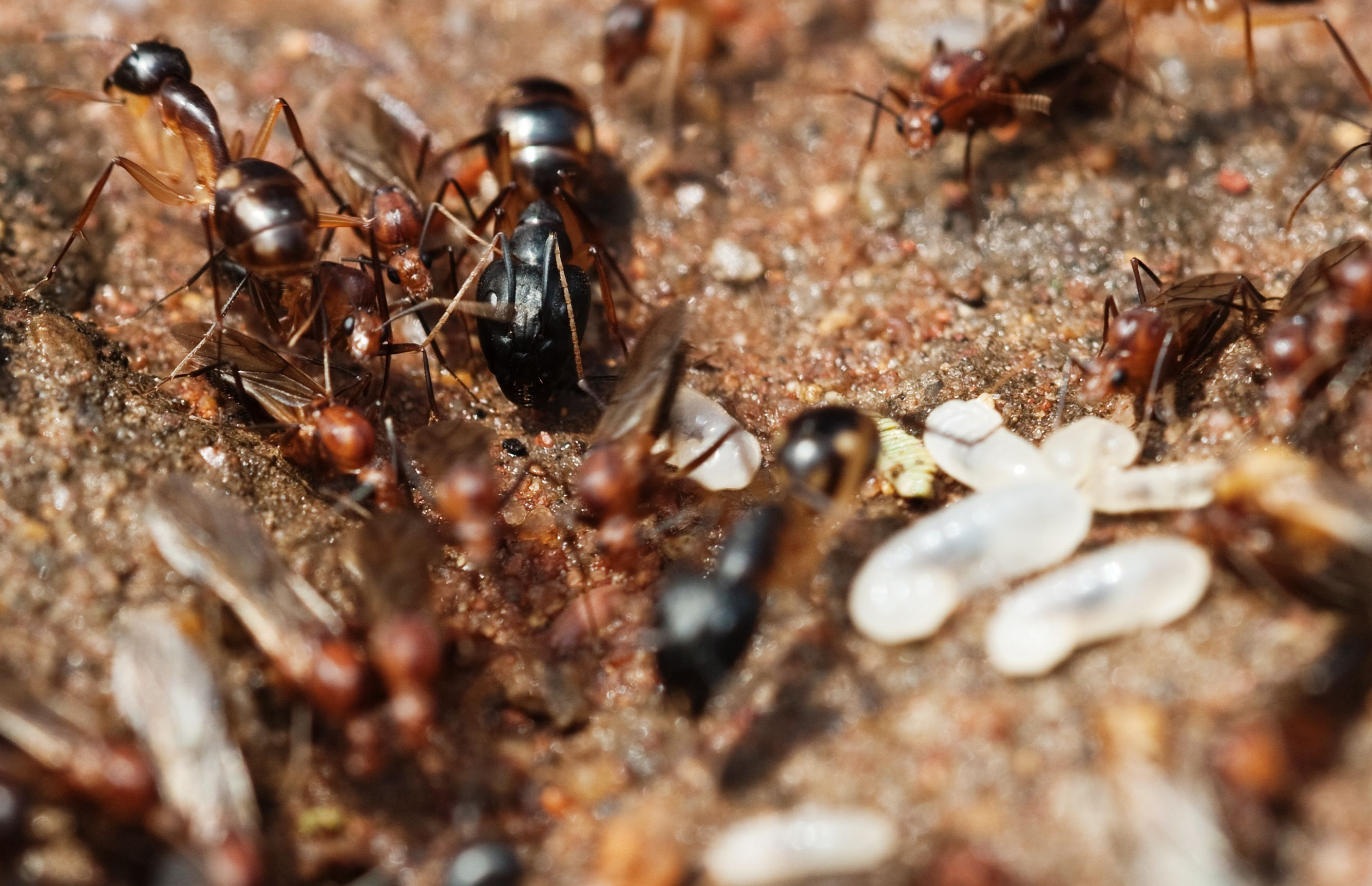Termite Fact Although Ants Attack Termites As A Source Of Food Termites Usually Only Attack Ants In Defense Of The Colony Termites Termites Facts Flying Ants