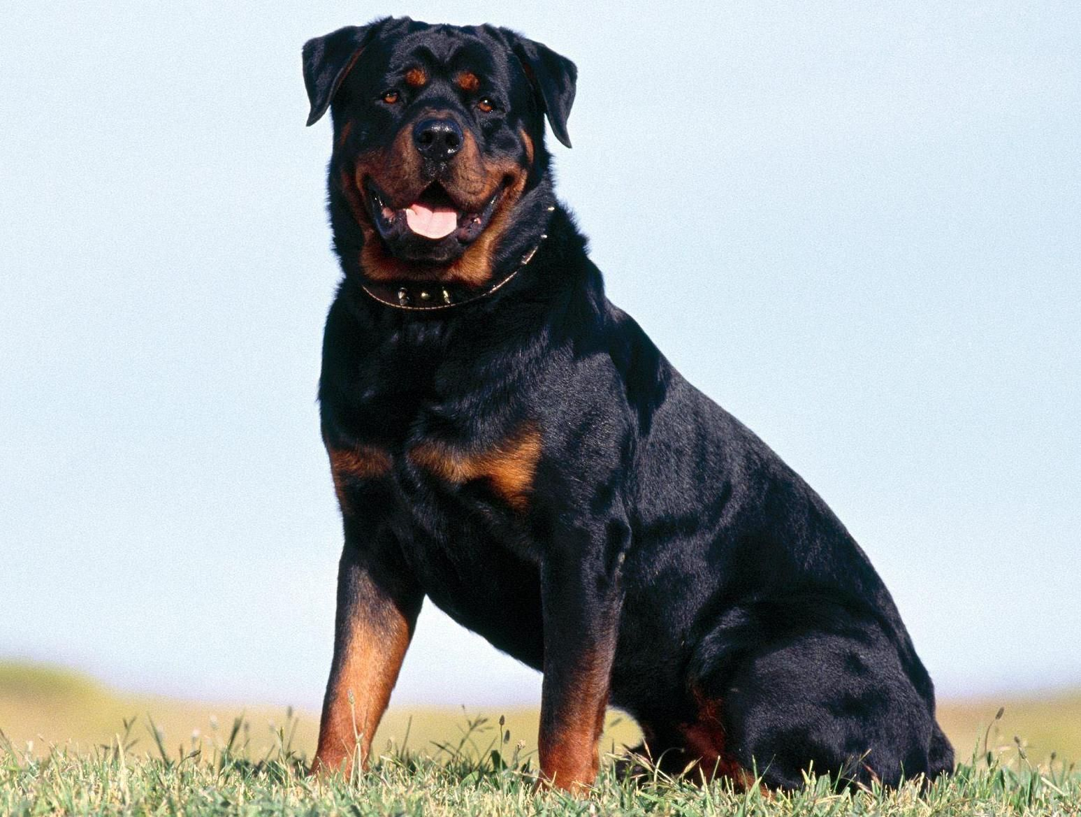 Gladiator Rottweiler Rottweiler Dog Rottweiler Dog Breed Dog