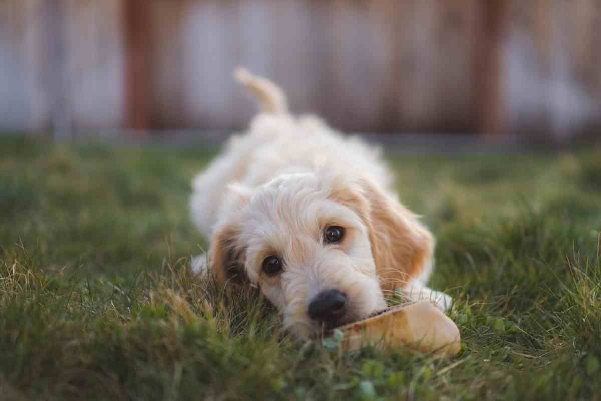 When Do Goldendoodle Puppies Stop Biting And How You Can Stop It