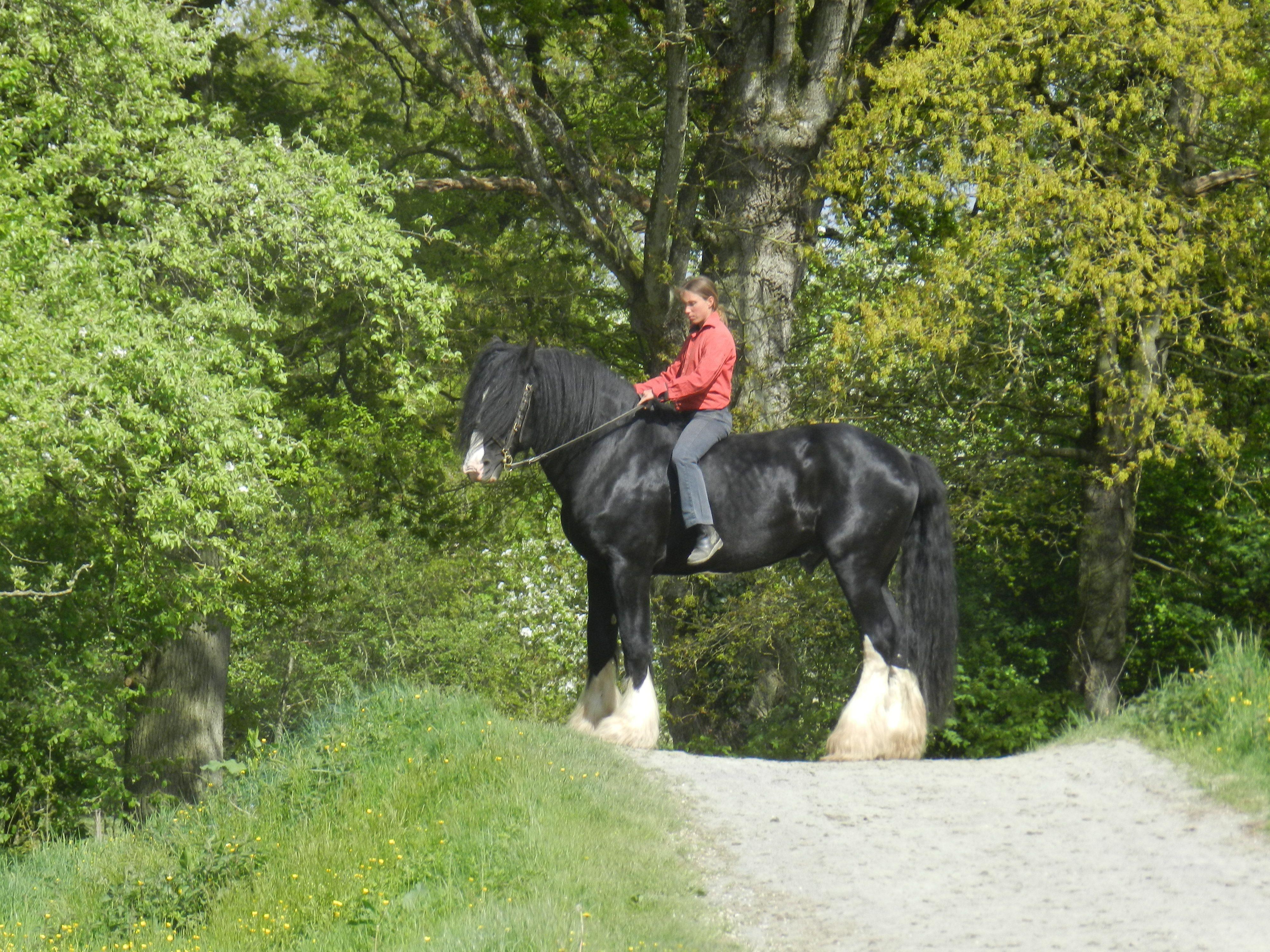 le plus grand cheval du monde le shire les chevaux de la michaudi re juvigny sous andaines. Black Bedroom Furniture Sets. Home Design Ideas