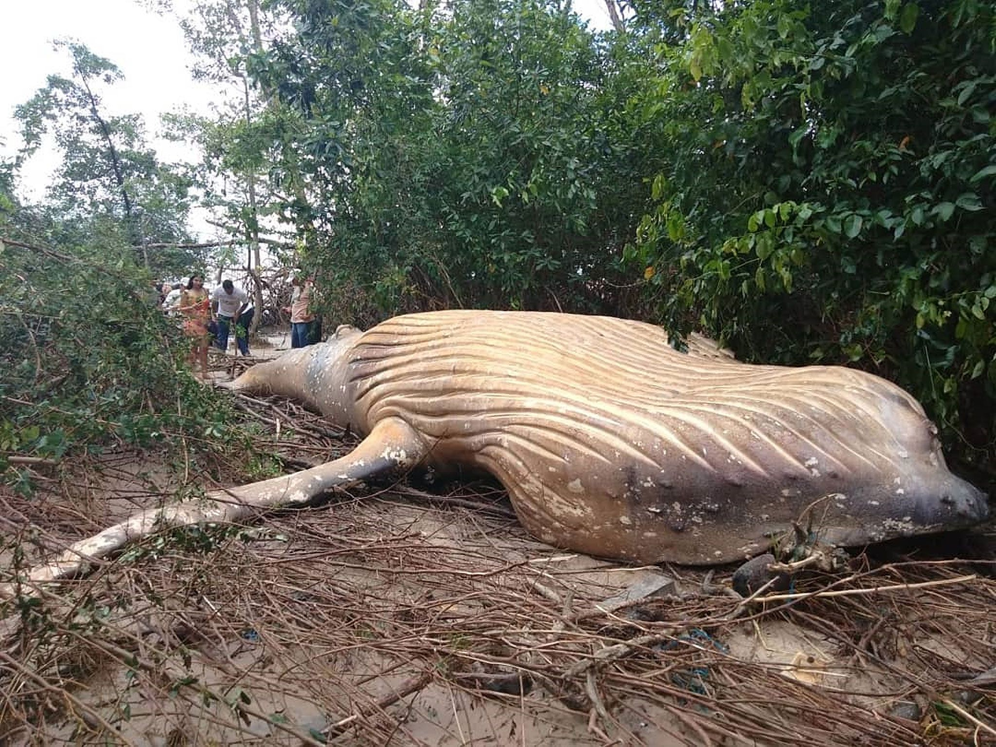 Mystery Surrounds Humpback Whale Found Dead In Depths Of Brazil S