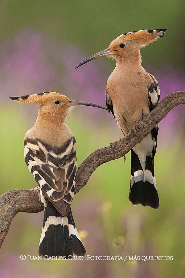 Hoopoe Couple by J. Carlos Cruz  The Hoopoe was declared the National bird of the State of Israel on 29 May 2008 by the president of Israel.