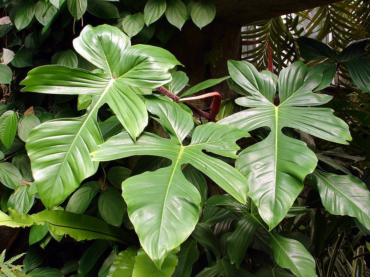 Pin by Houseplant 411 on Philodendron Plants   Plants ...