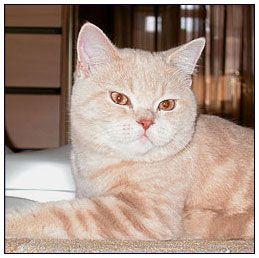 British Shorthair Cat Cream Classic Tabby British Shorthair