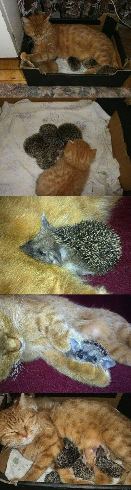 Cat adopted four orphan baby hedgehogs after their mother died and raises them alongside her own kitten.: