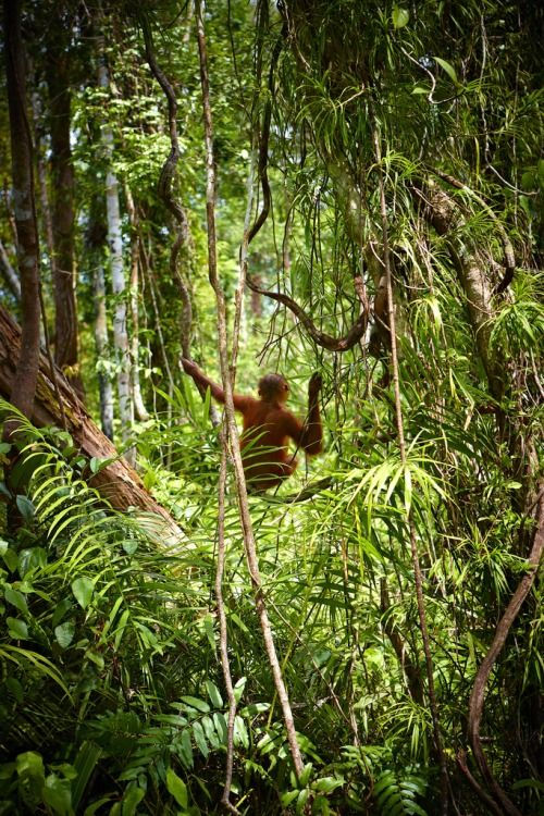 Jazzafari ॐ Forest and wildlife, Orangutan, Rainforest