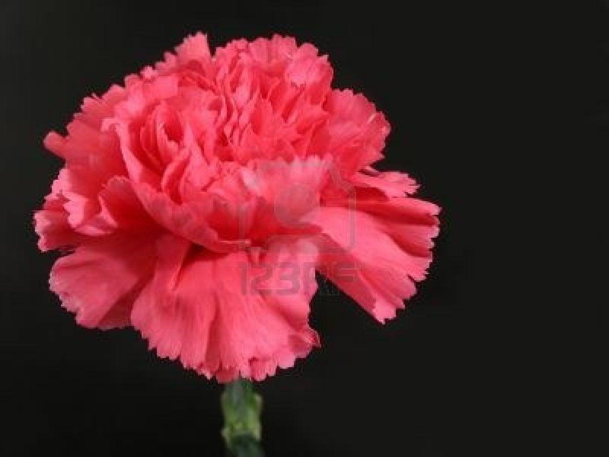 Nelke, carnation - weiß steht sie für Freundschaft und Treue, in rot ...