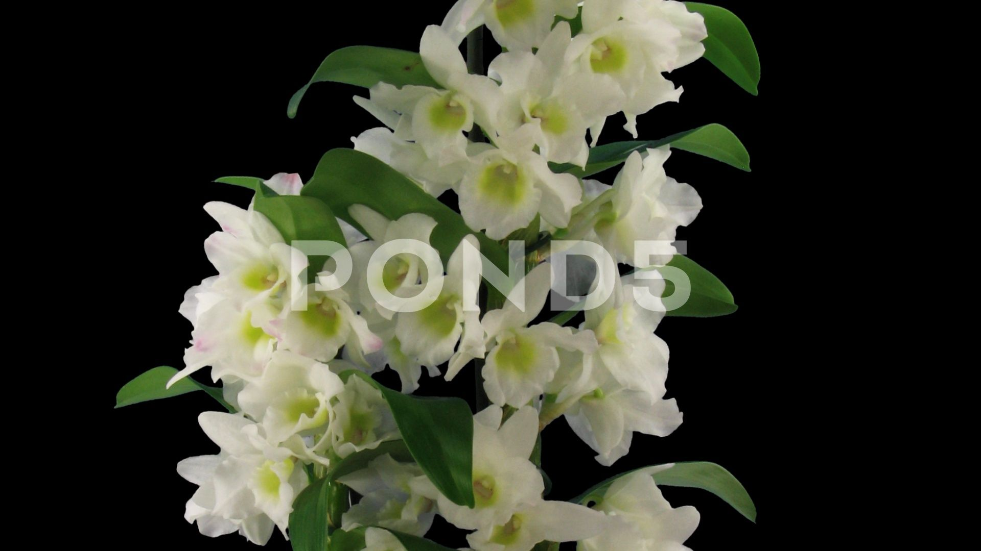 Time Lapse Of Opening Orchid Dendrobium With Alpha Channel Stock Footage Opening Orchid Time Lapse Alpha Channel Orchids Dendrobium Nobile