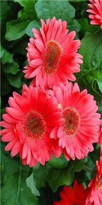 100 Pcs Bag African Chrysanthemum African Rare Blue Eyed Daisy