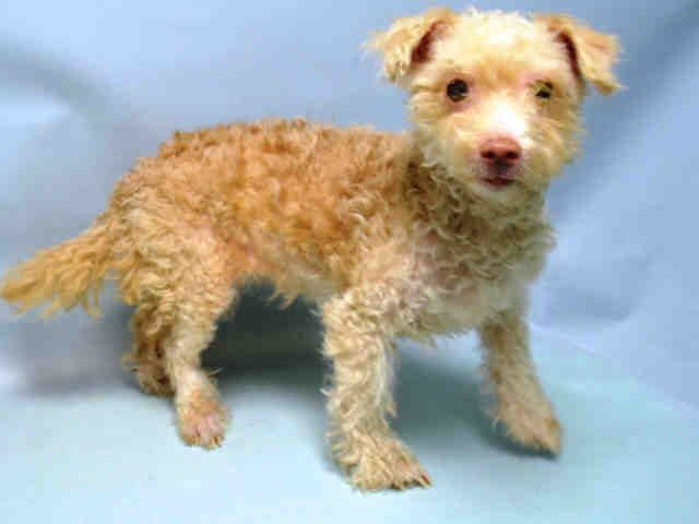 LITTLE - A1040218 - - Brooklyn  Please Share:   TO BE DESTROYED 02/25/16  This little lamb wound up in the Brooklyn Center as a return after being found on her own. She was adopted from the shelter last June and yet somehow wound up back in the shelter with no one coming to claim her despite the fact that she is microchipped. At 13 years of age Little has been through one adventure after another..none of them good. She deserves more than to wind up in a shelter multiple tim
