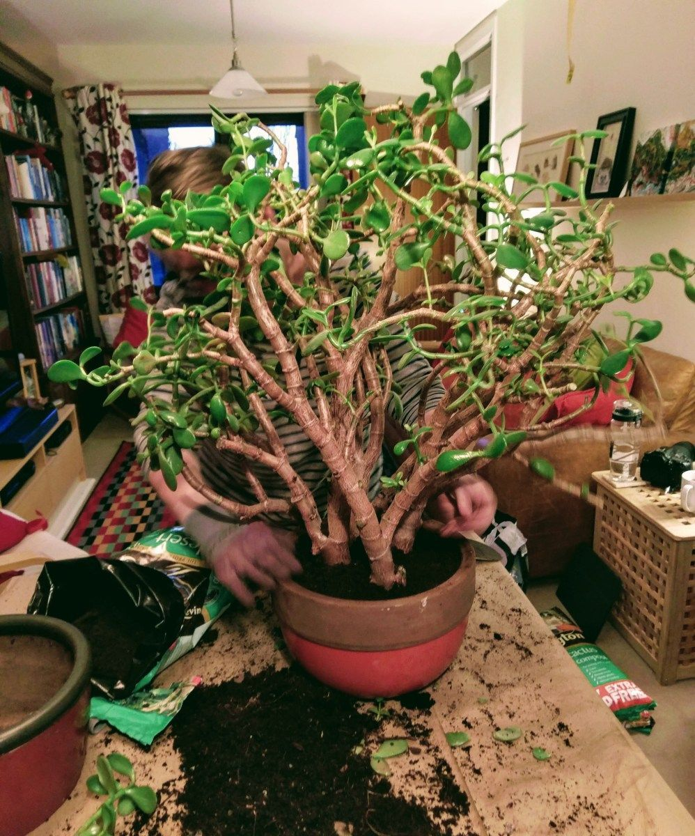 What's wrong with my jade plant? Care, pruning and ...