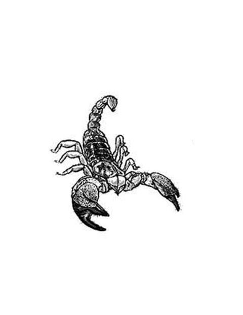 Pin Sketched Scorpion Holding A Skull Tattoo Tonys Gallery on ...