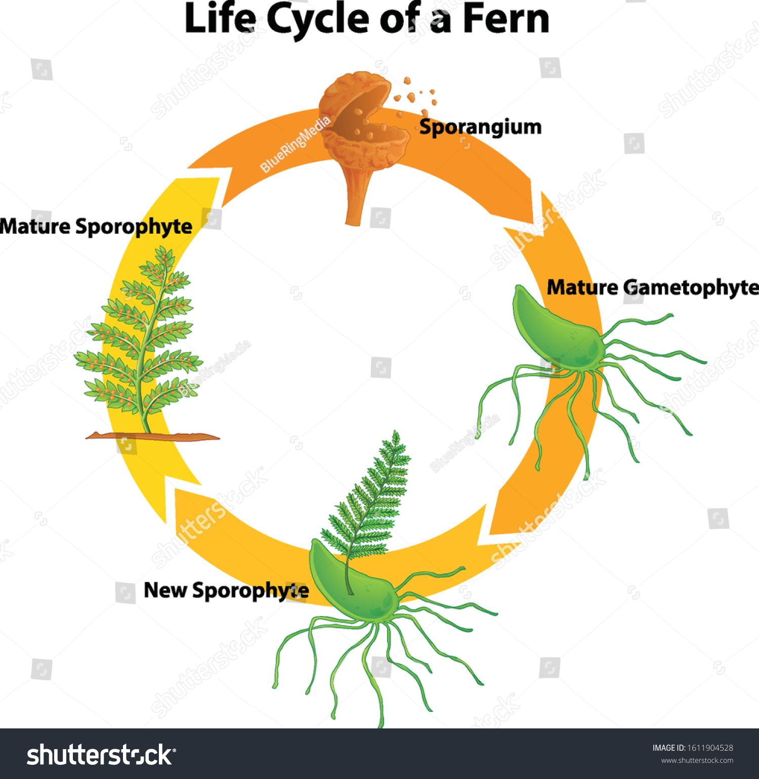 Diagram Showing Life Cycle Of Fern Illustration Ad