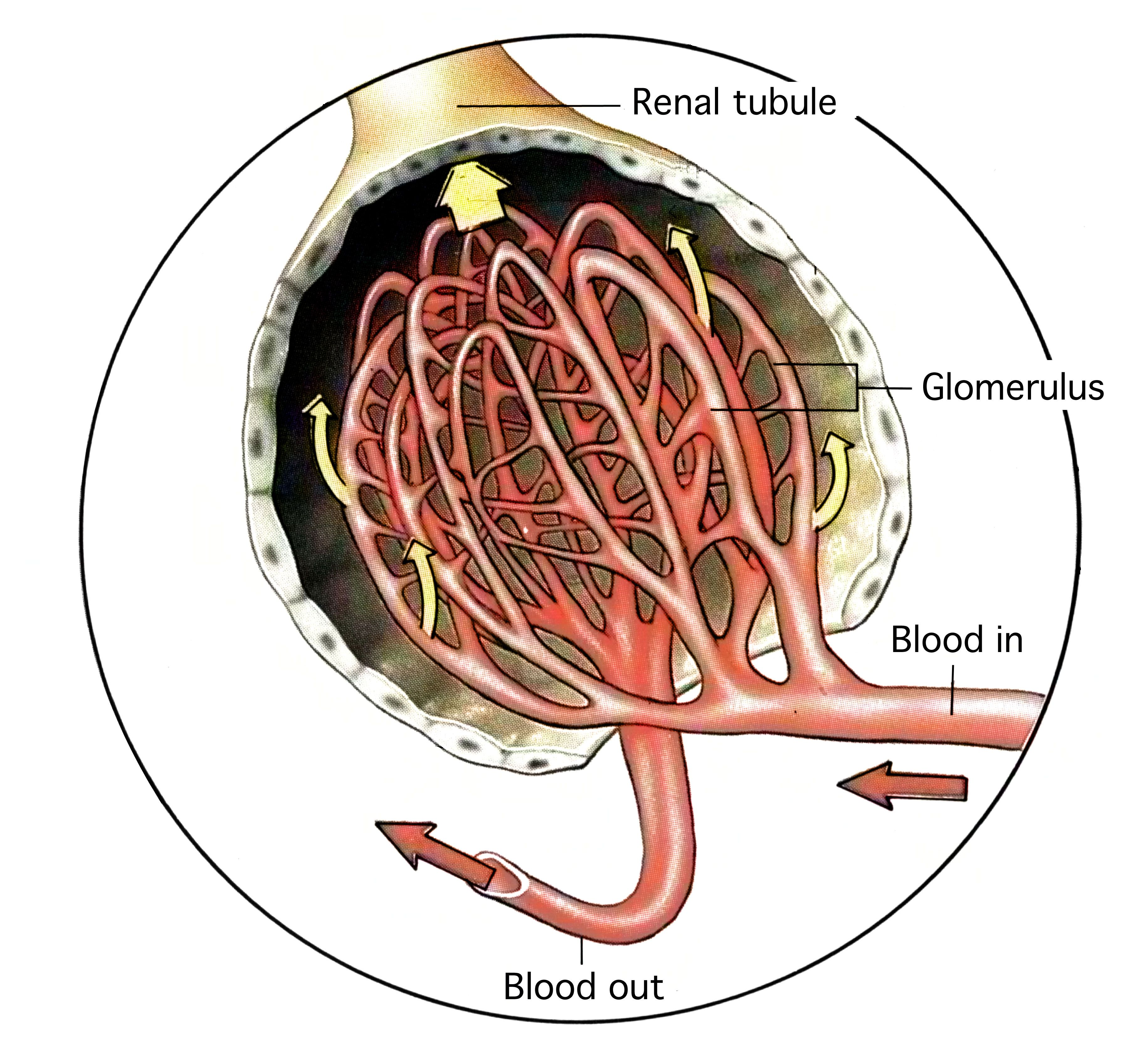Kidney Glomerulus Gallery