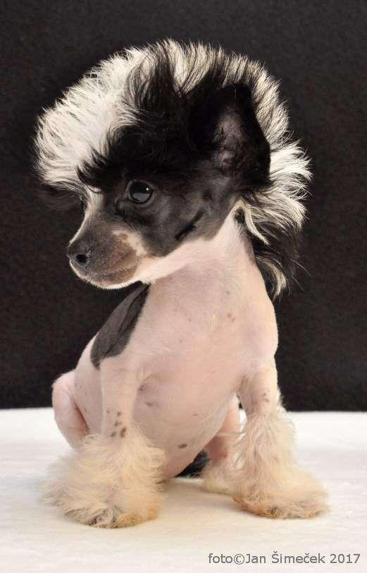 Jack Terrier Wigs Russell