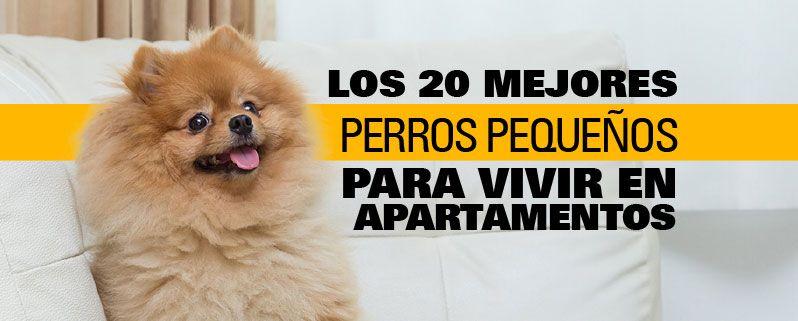 Los 20 Mejores Perros Para Apartamentos En Colombia Ciudaddemascotas Com Perros Pequenos Espacios Para Perros Perros