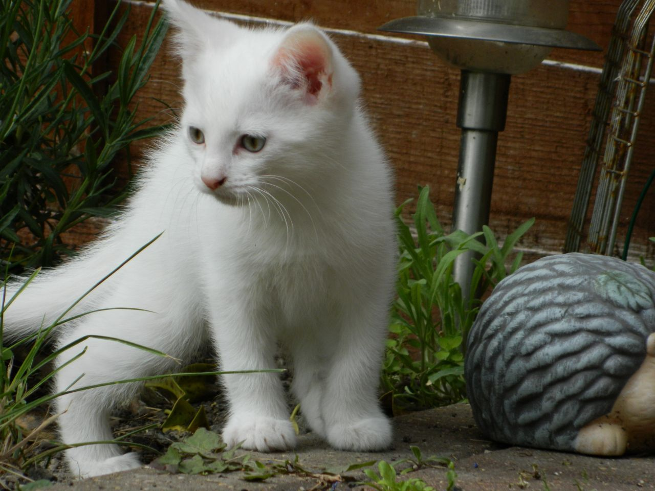 Turkish van kittens sale