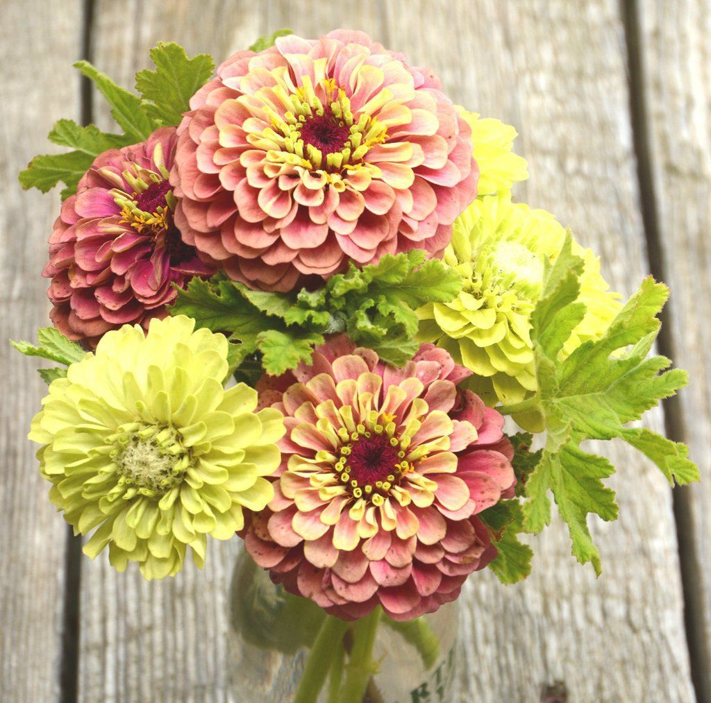 Queen red lime zinnia and benaryus giant lime zinnia two heirloom