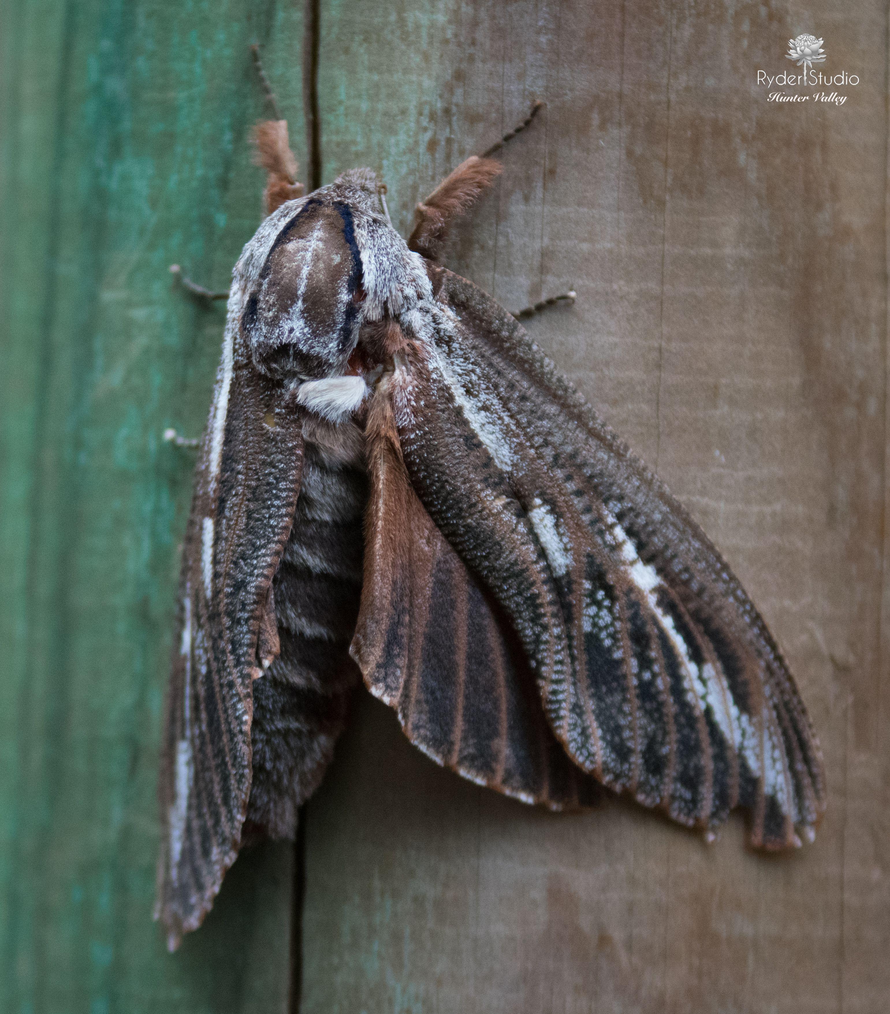 Bogong moth australian insects moth studio photography