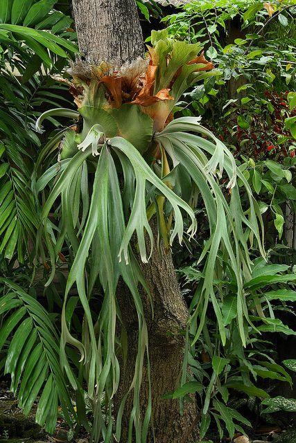 ceb93cdd8514066861de171688b869d7 Polypodiaceae House Plant on peperomia house plant, monstera deliciosa house plant, philodendron house plant, fern house plant, spanish moss house plant,
