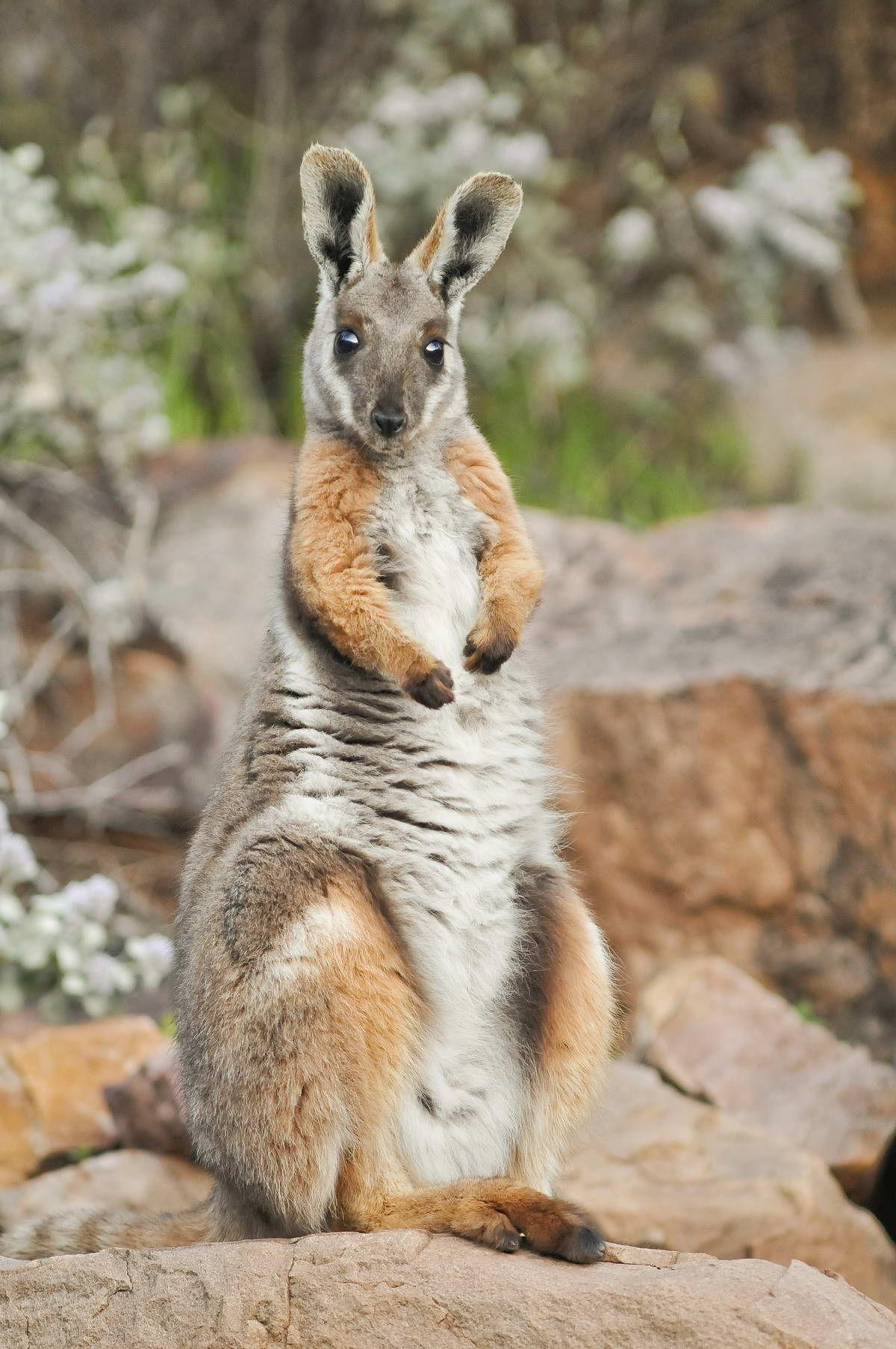 YellowFooted RockWallaby Australian native animals