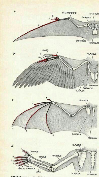 Wings. Anatomy | Anatomy/Tutorials | Pinterest | Flügel und Motive