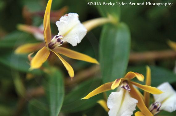 Epidendrum Orchids Fine Art Photo Print by BeckyTylerArt on Etsy