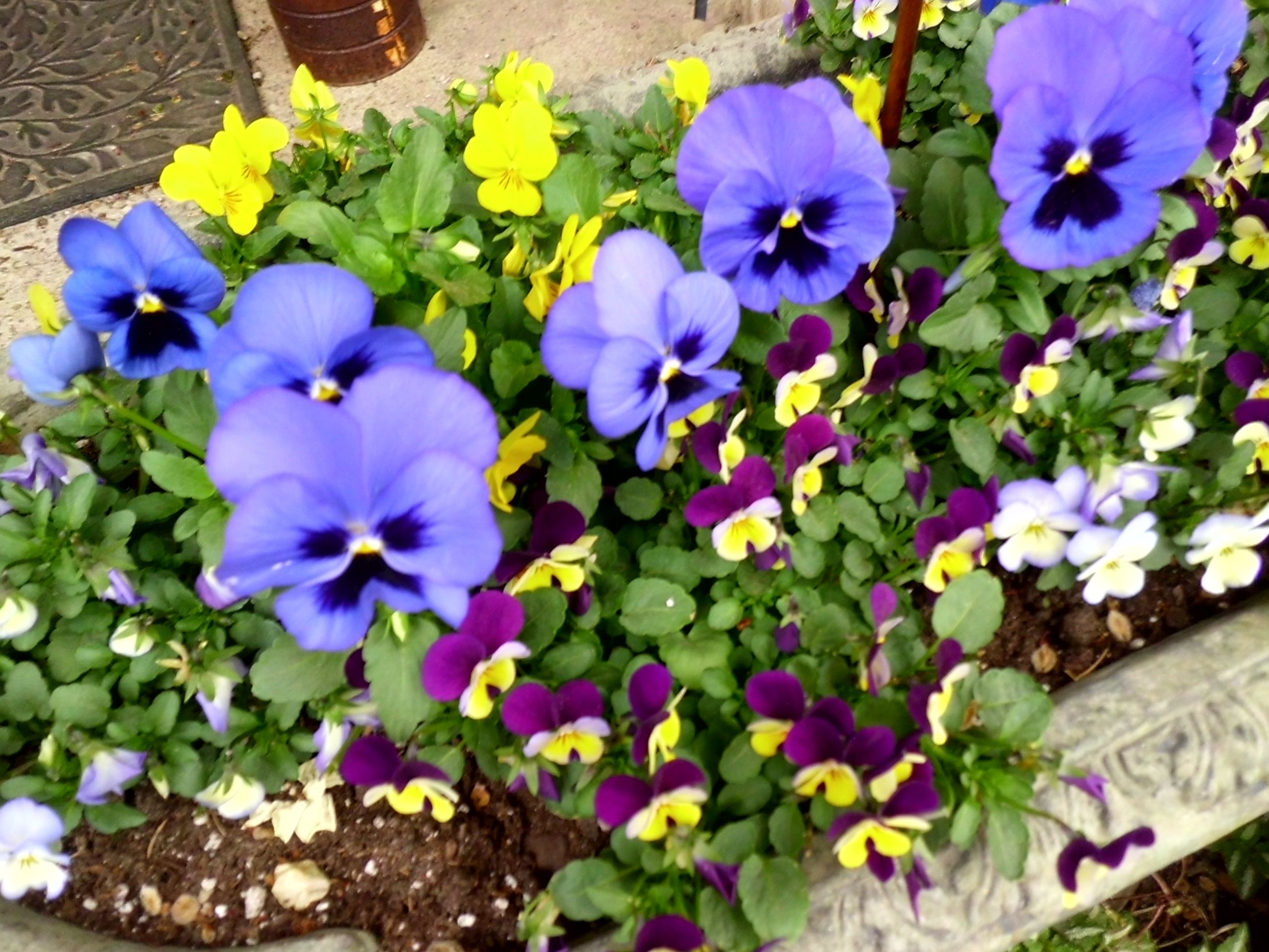 Beautiful and I love these violas! Planter ideas...