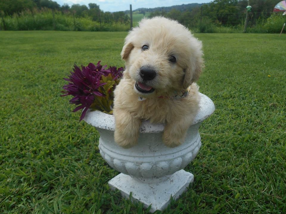 The Shepadoodle Is An Adorable Dog That Is The Result Of Cross Breeding Between A Standard Poodle And A G German Shepherd Poodle Mix Poodle Mix Cute Funny Dogs