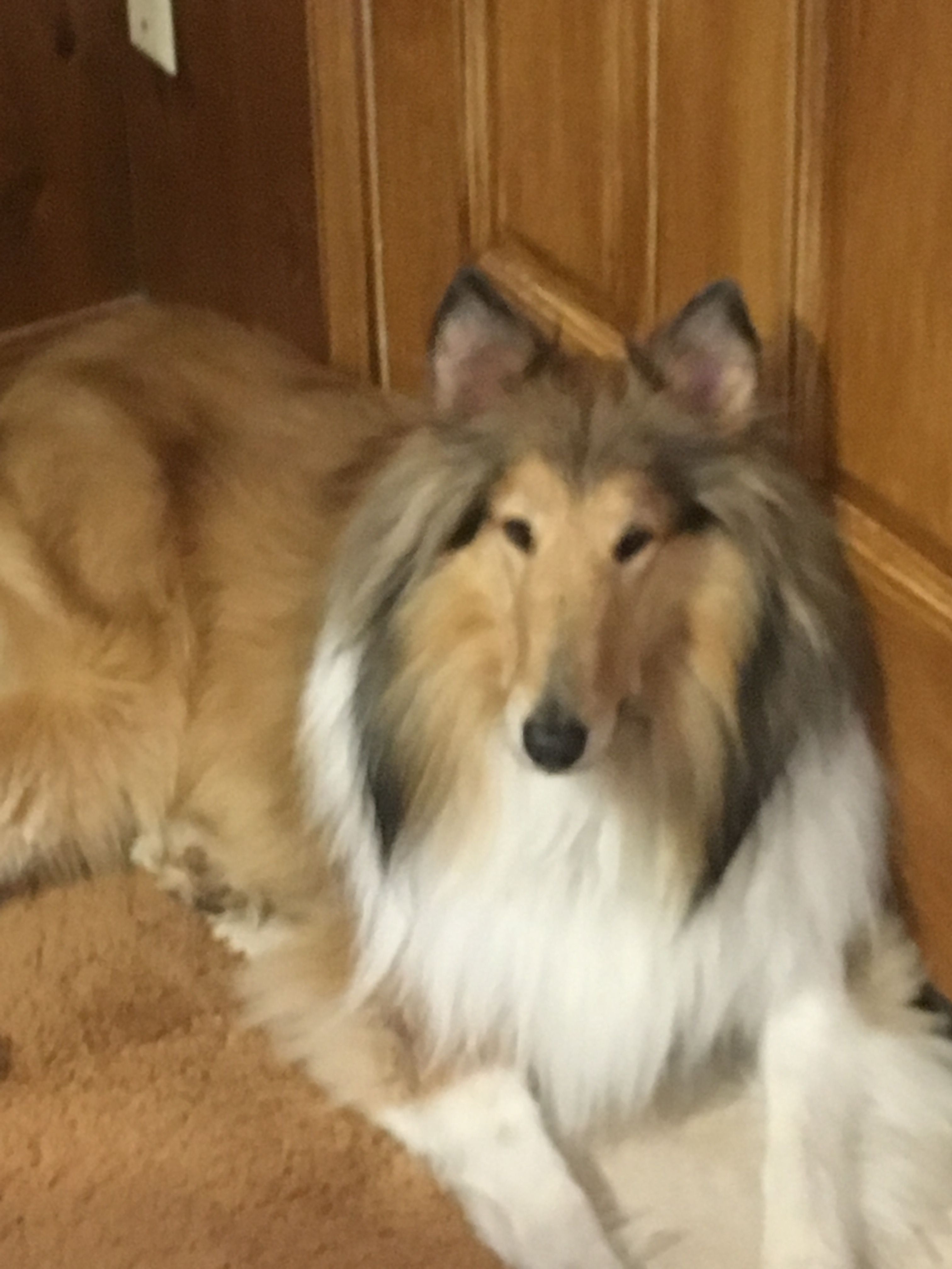 Pin By S Burchfield On Shelties Collies Collie Dog Rough