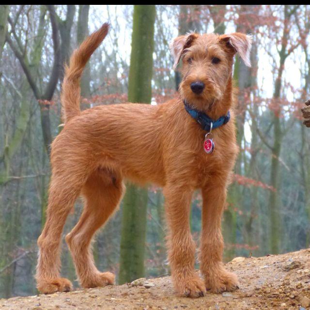 Pin By Joy Lillis On Gianni Irish Terrier Irish Dog Irish Terrier Puppies