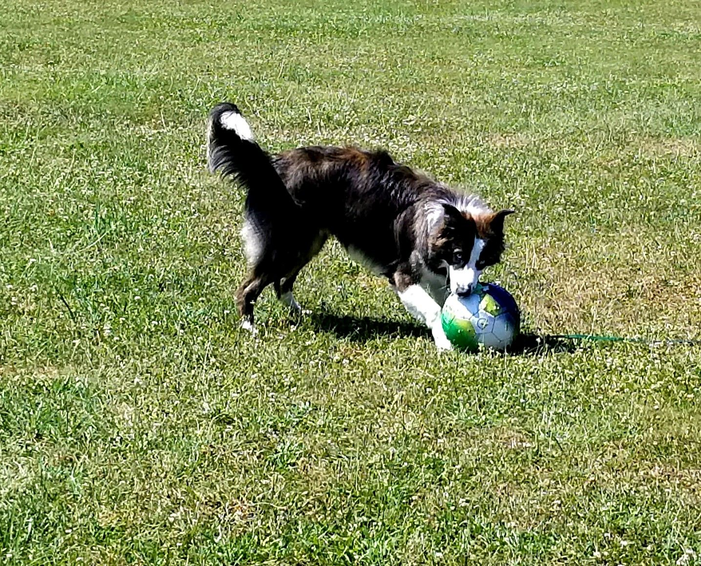Meet Focus He Is A Ambitious Border Collie Who Lives With The