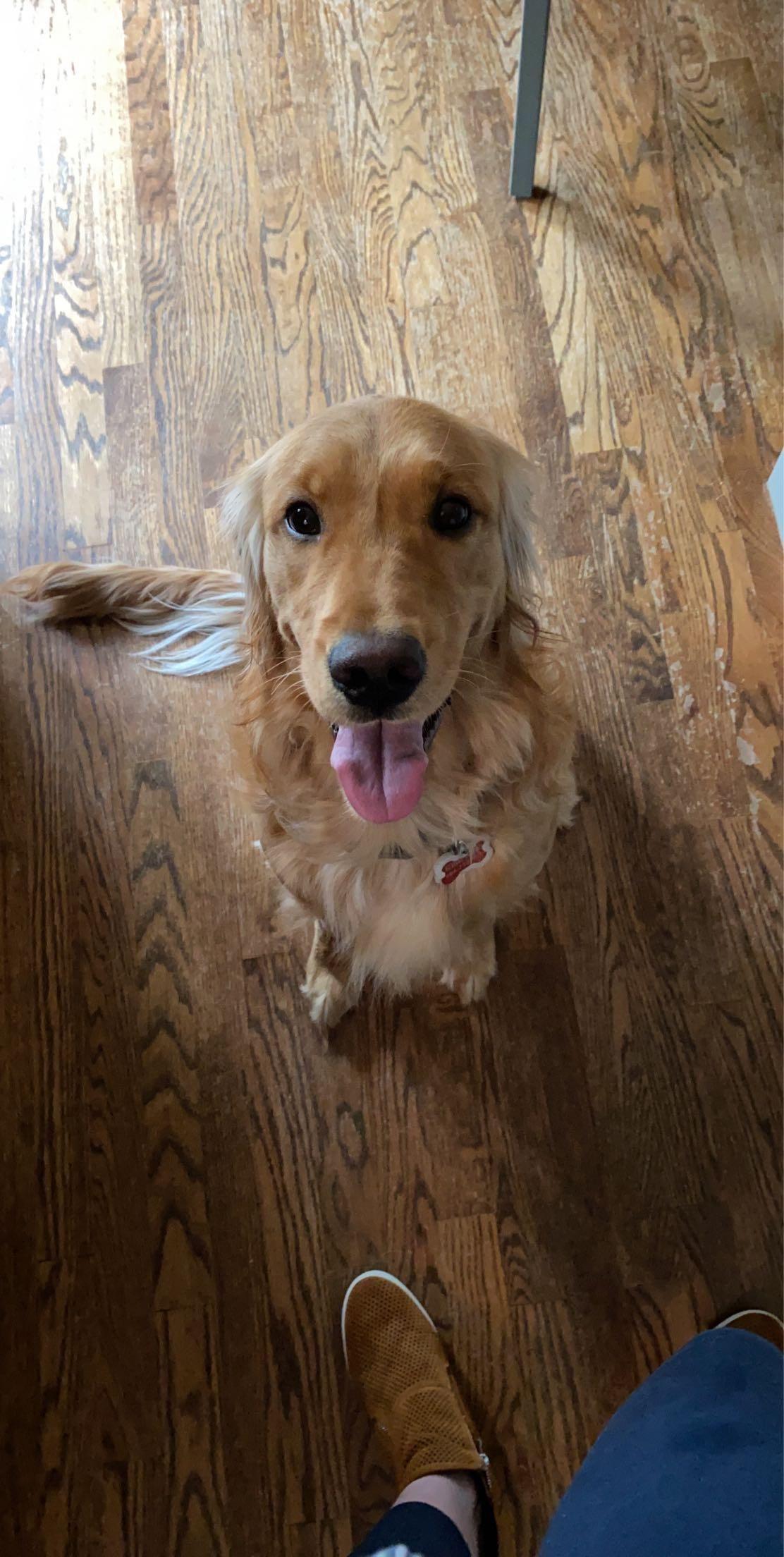 47 Adorable Golden Retriever Mix Breeds Doggypedia In 2020 Golden Retriever Dogs Golden Retriever Dogs And Puppies