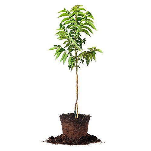 Planting Pecan Trees Pecan Tree Perfect Plants Fast Growing Trees