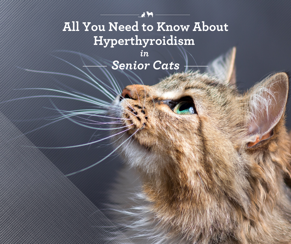 All You Need to Know About Hyperthyroidism in Senior Cats