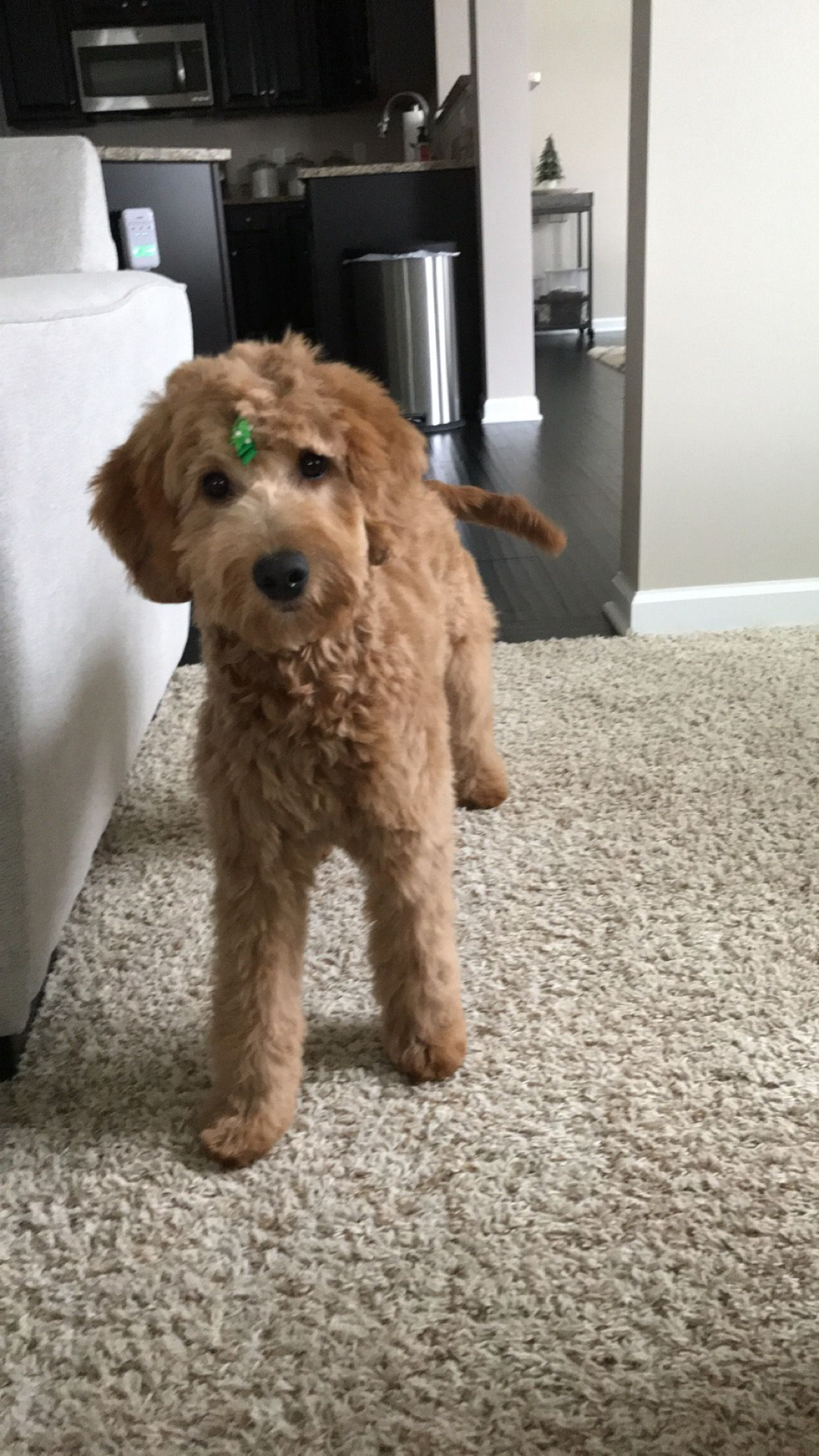 Goldendoodle Puppy Haircut Puppy Haircut Goldendoodle