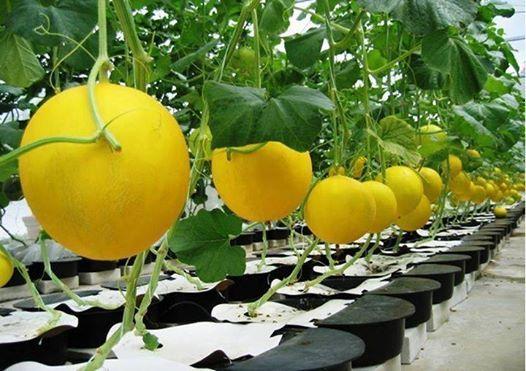 Melon Hidroponik Ramah Lngkungan Aquaponics Hidroponik
