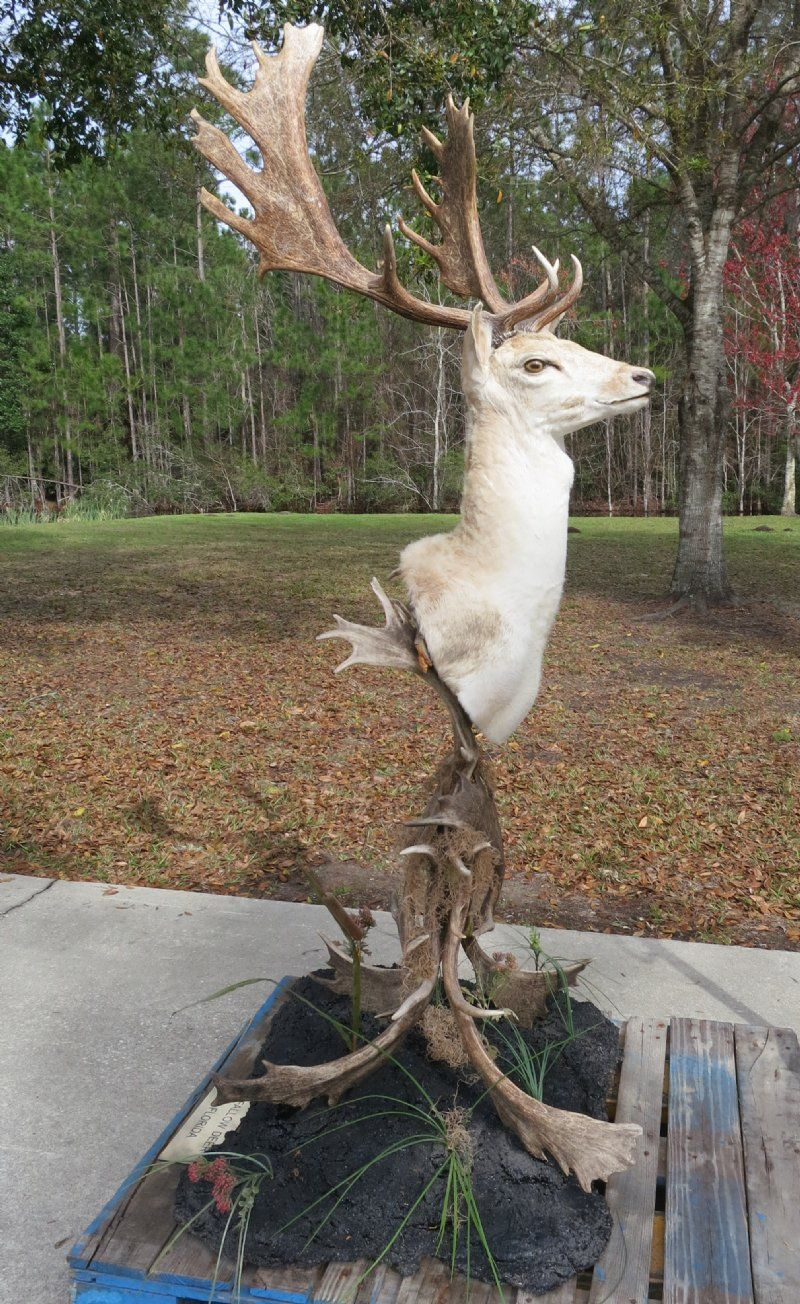 Fallow deer head mount on a free standing base made out of fallow fallow deer head mount on a free standing base made out of fallow deer antlers and arubaitofo Images