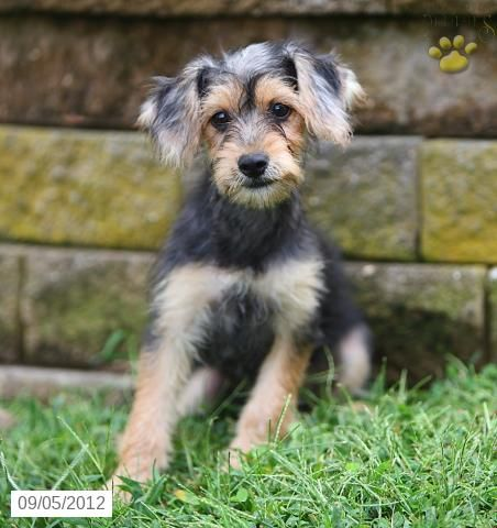 Miley Yorkiepoo Puppy for Sale in Paradise, PA