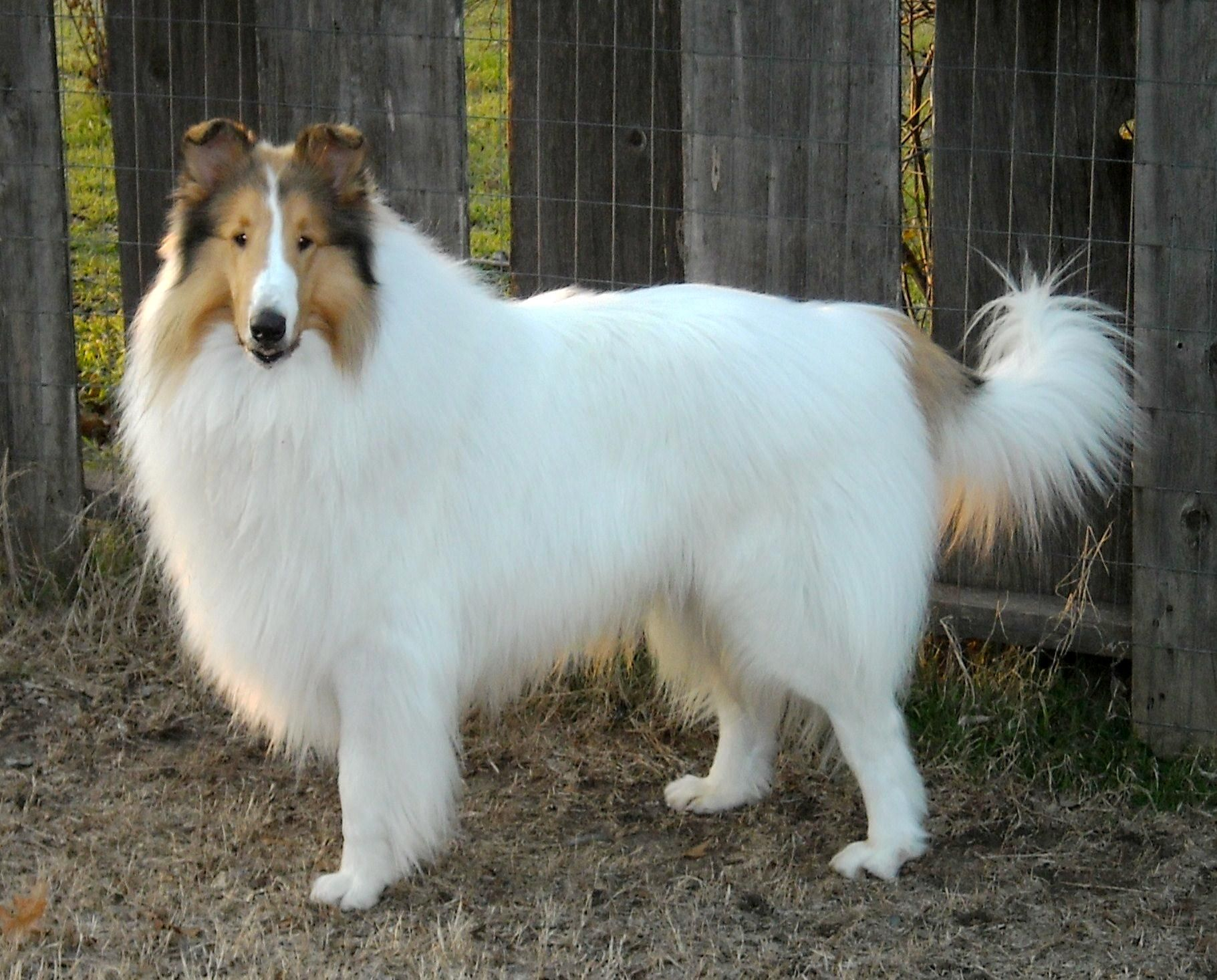 Tairis Collies About Collies Rough Collie Sheltie Dogs