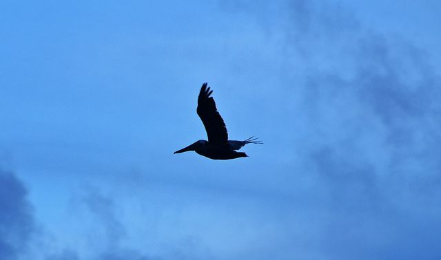 Pelican is silhouetted against the evening sky over the Atlantic Ocean off the coast of Hilton Head Island.